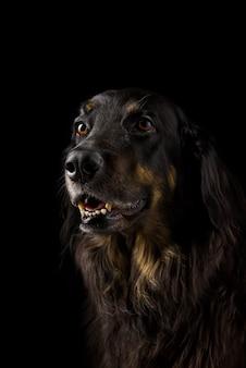 Black hovawart portrait. black dog close-up