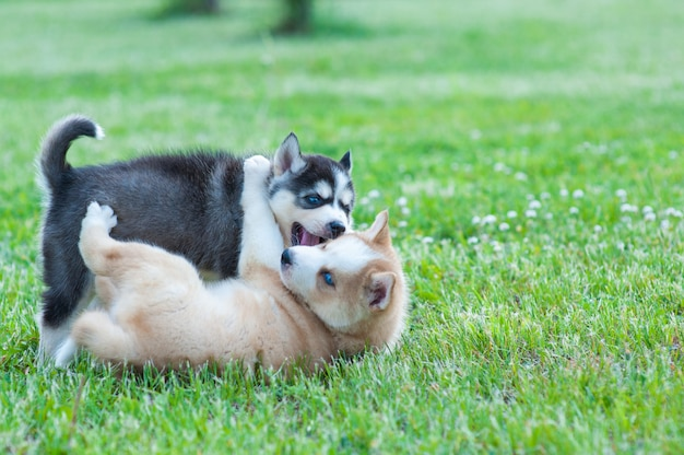 Black husky and brown puppy playing with each other