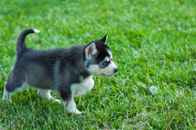 Black husky puppy walking through the grass