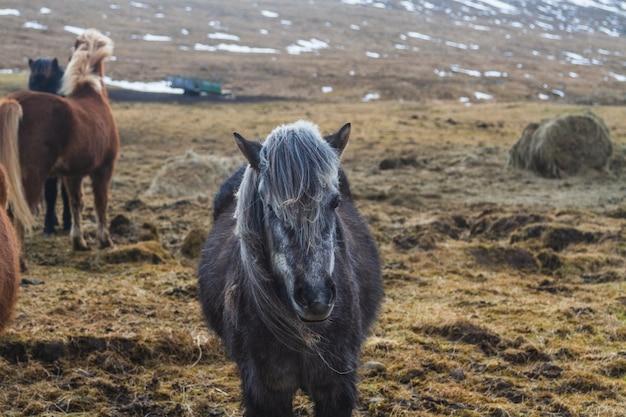 アイスランドの日光の下で雪と草で覆われたフィールドに黒いアイスランドの馬