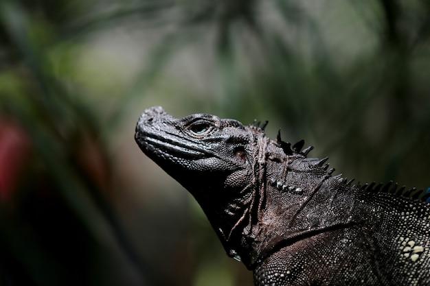 Черная игуана загорает, темный фон