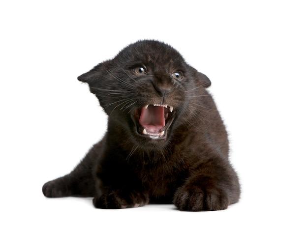 黒ジャガーの子、パンテーラonca、白で隔離