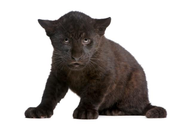 Black jaguar cub, panthera onca, isolated on white