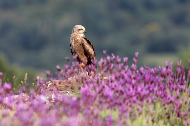 Black kite adult among purple flowers with the first light of dawn