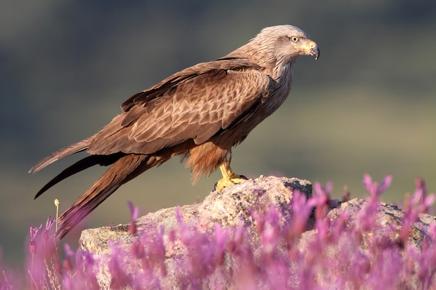 Black kite among purple flowers in early spring with the first light of day