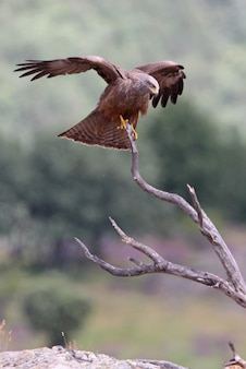 Black kite on a branch with the first light of day