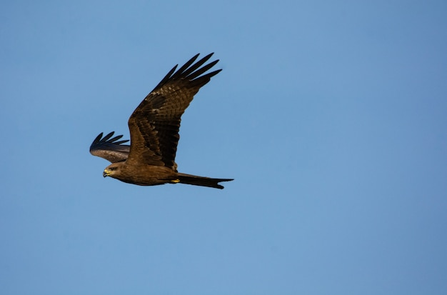 Black kite in flying action on blue sky background
