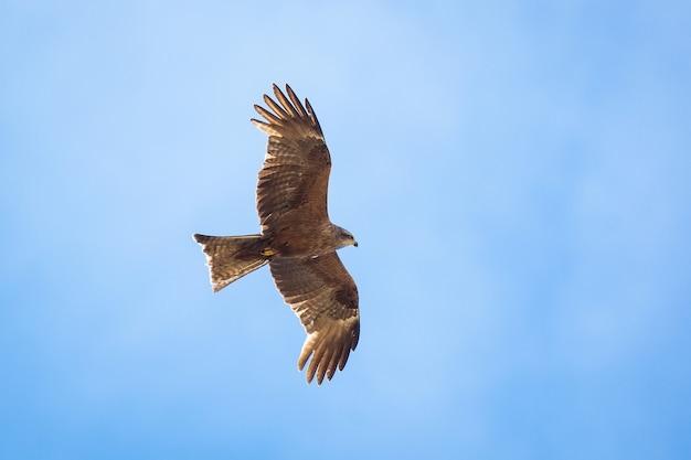 Black kite (milvus migrans) flying in blue sky
