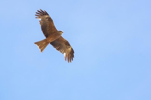Черный коршун (milvus migrans) летит в голубом небе