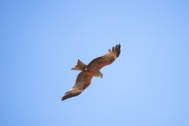 Black kite milvus migrans in the sky