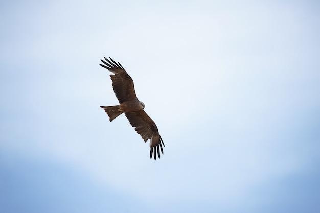 Black kite milvus migrans in the sky