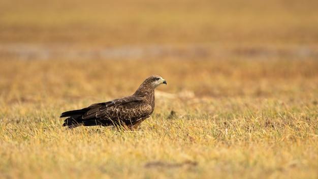 Черный коршун сидит на желтой траве в осенней природе