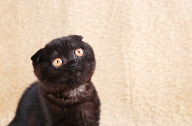 黒い瞳の黒い子猫ブリティッシュショートヘア