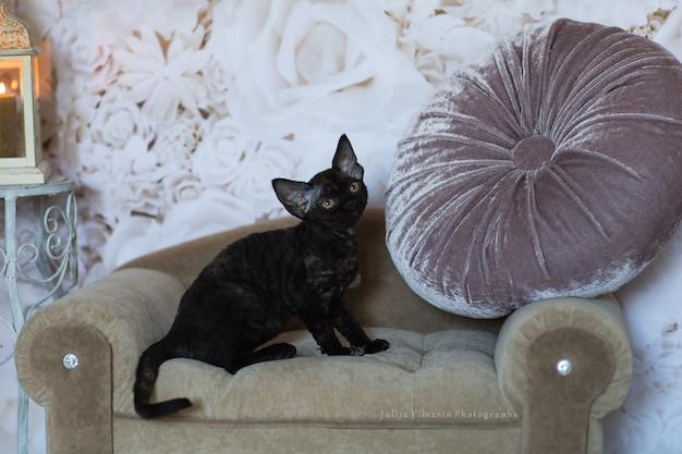 ソファに座っている黒い子猫デボンレックス