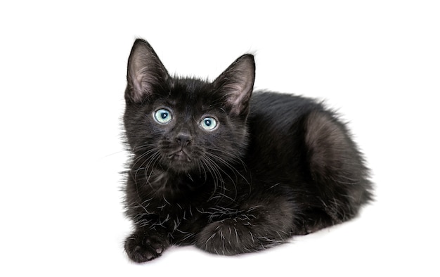 Black kitten sitting in front of camera isolated
