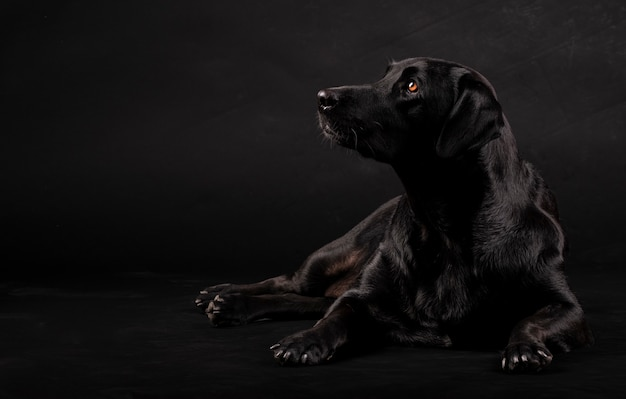 Black labrador dog sitting on the floor and looking to the side
