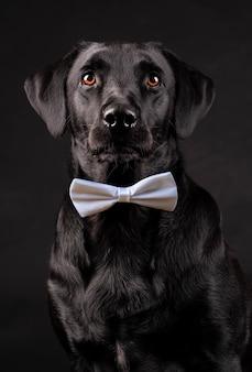 Black labrador dog with orange eyes with bow tie