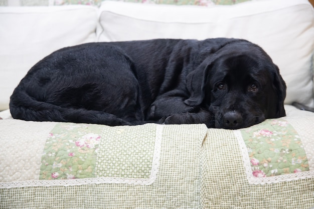 ソファーで横になっている黒のラブラドール