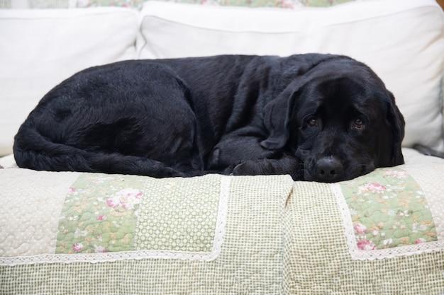 Black labrador lying on a sofa