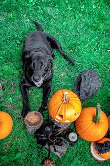 Black labrador near jack-o-lantern outdoors. halloween. dog with pumpkins. top view.