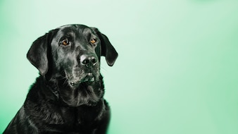 Black labrador on green background