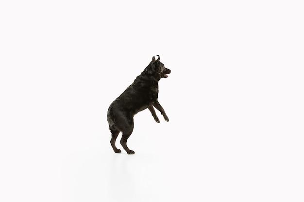 楽しんでいる黒いラブラドールレトリバー。かわいい遊び心のある犬や純血種のペットは、白で隔離された遊び心とかわいいに見えます