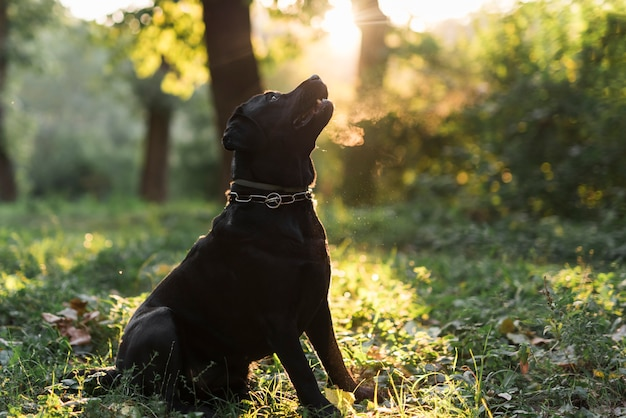 Black labrador retriever sitting in green forest at morning