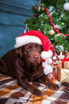 The black labrador retriever sitting with gifts on christmas decorations