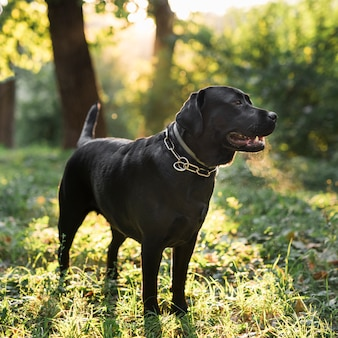 Black labrador retriever standing in green forest