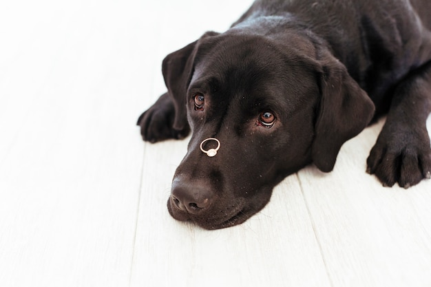 鼻に除草リングの付いた黒いラブラドール。結婚式のコンセプト