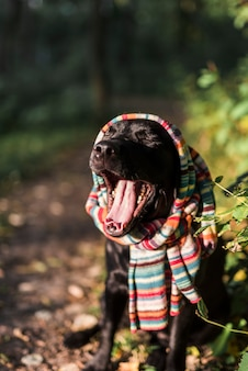 Black labrador with multicolored scarf yawing in park