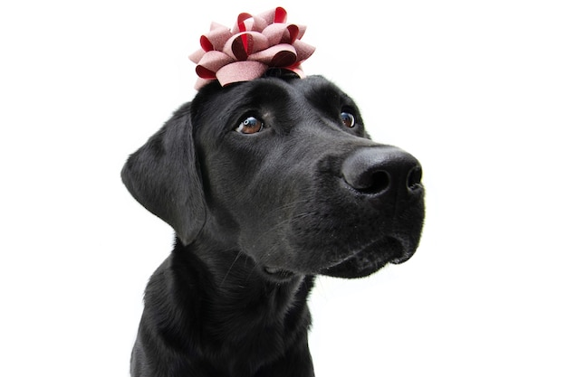 Black labrador with a red ribbon over its head