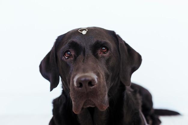Black labrador with wedding ring. wedding concept