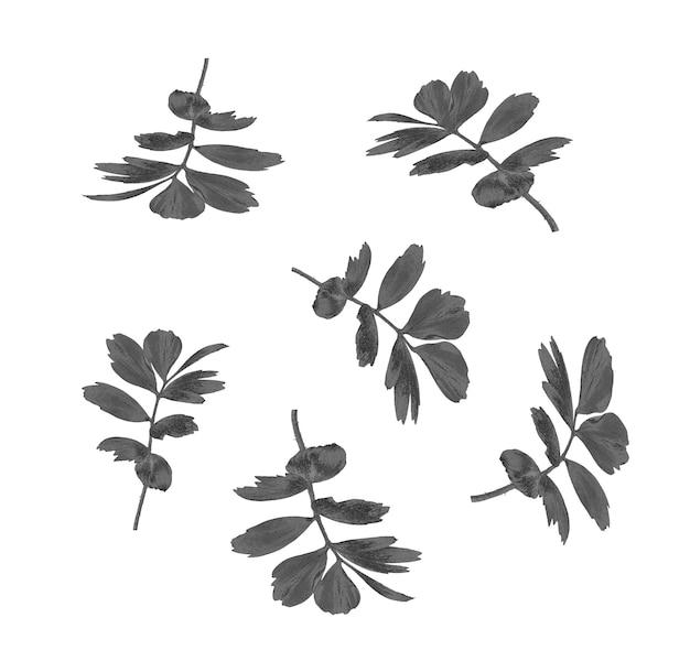 白で隔離されるヤシの木の黒い葉