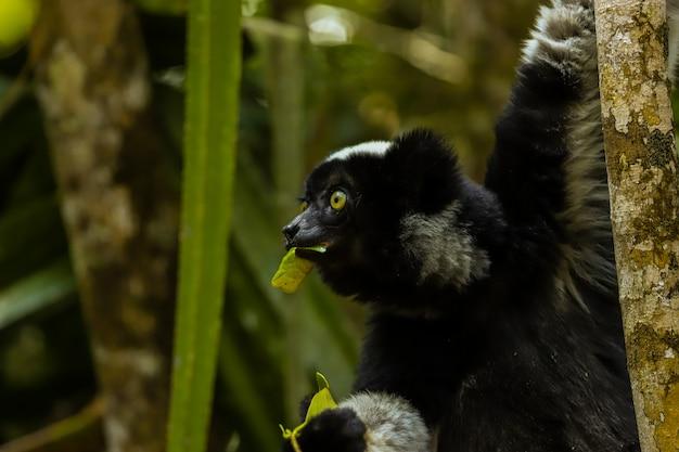 黒いキツネザルマダガスカルの葉を食べる