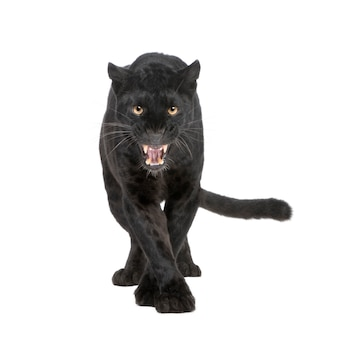 Black leopard in on a white isolated