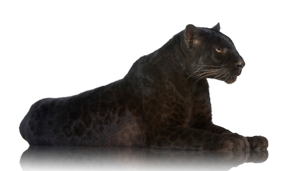 Black leopard on a white isolated