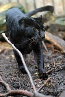 검은 표범