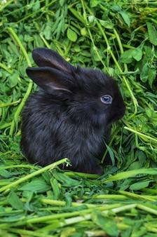 Black  little rabbit