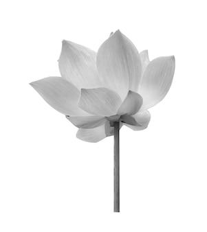 白い背景の上の黒い蓮の花
