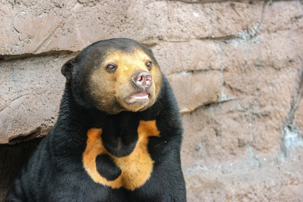 A black malayan sun bear or honey bear on rock cliff ground.