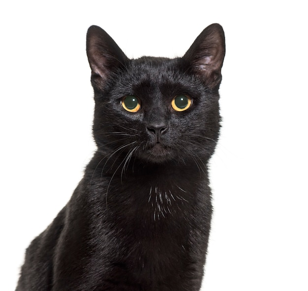 Black mixed-breed domestic cat sitting against white