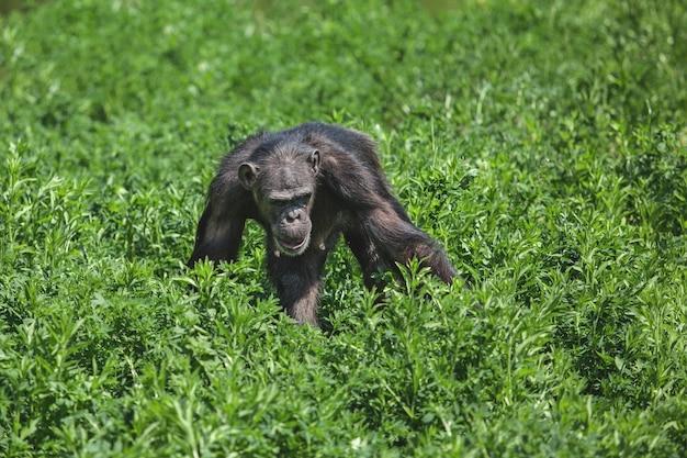 茂みの中で食べ物を探している黒猿