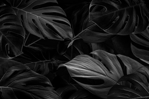 Sfondo di foglie di monstera nero