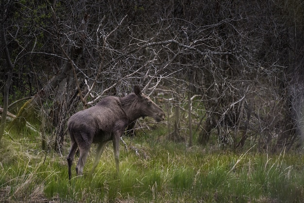 Black moose standing on a grass field with wooden branches