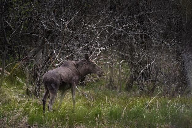 Черный лось стоит на траве поля с деревянными ветками