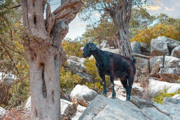 자연 서식지에 검은 산 염소. 그림 같은 바위의 배경에 산 염소