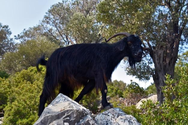 Black mountain goat on a rock