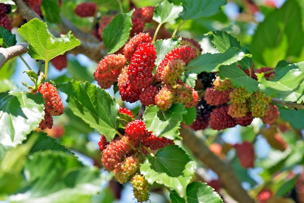 Black mulberry tree covered with fruits