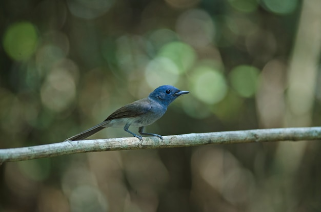 Black-naped monarch in nature